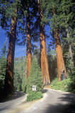 Giant Sequoia Trees, Sequoia National Park, California Royalty Free Stock Photography