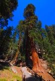 Giant sequoia trees in Sequoia National Park, California, USA Stock Photos
