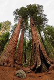Giant sequoia trees in Sequoia National Park Royalty Free Stock Photo