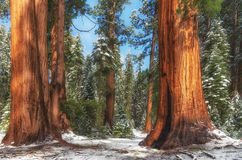 Giant Sequoia Trees in Sequoia National Park , USA Royalty Free Stock Photo