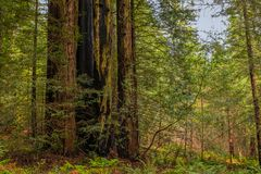 Giant sequoia trees in the Redwoods Forest in California Stock Image