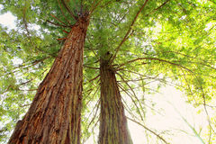 Giant sequoia trees. Top of Giant sequoia trees Royalty Free Stock Image