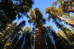 Giant Sequoia trees trunk reach up like dancers to  sky Royalty Free Stock Photos