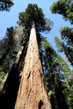 Giant Sequoia Trees - Yosemite Stock Photo