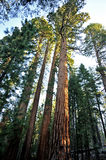 Giant Sequoia Trees - Yosemite National Park Royalty Free Stock Photography
