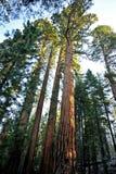 Giant Sequoia Trees - Yosemite National Park Royalty Free Stock Photography