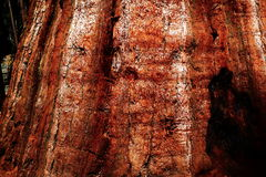 Giant Sequoia Trunk Stock Photography