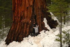 Giant Sequoia Two Royalty Free Stock Photo