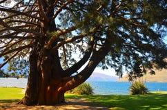 Giant Sequoia Wellingtonia Sequoiadendron giganteum stock photos