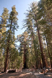 Giant Sequoia in Yosemite Stock Images