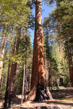 Giant Sequoia in Yosemite Stock Photography