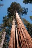 Giant Sequoia in Yosemite Stock Image