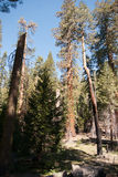 Giant Sequoia in Yosemite Royalty Free Stock Photos