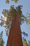 Giant Sequoias. At Yosemite National Park, California stock images