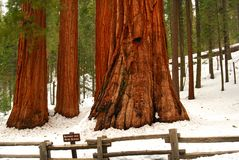 Giant Sequoias Stock Photography
