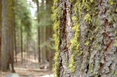 Giant sequoias Stock Photography