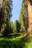 Giant Sequoias in the Grant Grove Royalty Free Stock Photography