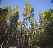Giant Sequoias, Mariposa Grove. Wide angle view of giant sequoias in Mariposa Grove, California royalty free stock photos