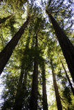 Giant Sequoias at Muir Woods National Park Royalty Free Stock Photo
