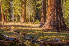 The Giant Sequoias Place Royalty Free Stock Photography