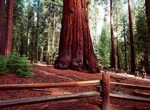 Giant Sequoias Royalty Free Stock Image