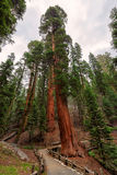 Giant sequoias in Sequoia national Park Stock Photos