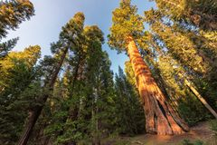 Giant Sequoias at sunset in Sequoia National park stock photos