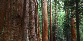 Giant Sequoias in Yosemite Royalty Free Stock Photo