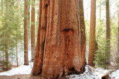 Giant Sequoias,Yosemite National Park Stock Photography