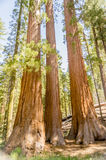 Giant Sequoias at Yosemite National Park, California Royalty Free Stock Photos