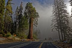Giant sequoias in Yosemite National Park. Giant sequoia trees along the road in Yosemite National Park in California Royalty Free Stock Image