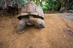 Giant turtles in La Vanille natural park, Mauritius royalty free stock photos