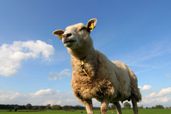 Giant sheep. Looking up at a single sheep, in a meadow Stock Photo