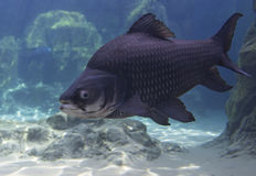 Giant Siamese Carp Royalty Free Stock Photography
