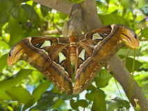 Giant Silk Moth. Hangs on a branch Royalty Free Stock Photo