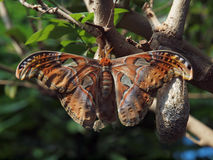 Giant Silk Moth (Antheraea polyphemus). Giant Silk Moth hangs on a branch Royalty Free Stock Photos