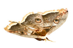 Giant silk moth butterfly Royalty Free Stock Images