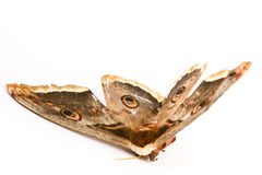 Giant silk moth butterfly Stock Image