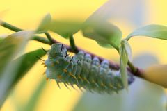 Giant silk moth caterpillar royalty free stock photography