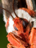 Giant Silk Moth Face Stock Images