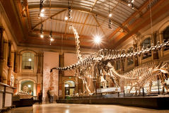 Giant skeletons of Brachiosaurus and Diplodocus in Dinosaur Hall. BERLIN, GERMANY - AUG 30: Giant skeletons of Brachiosaurus and Diplodocus in Dinosaur Hall on Stock Photos