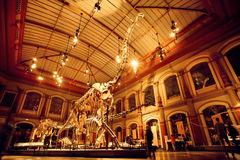 Giant skeletons of Brachiosaurus and Diplodocus in Dinosaur Hall. BERLIN, GERMANY - AUG 30: Giant skeletons of Brachiosaurus and Diplodocus in Dinosaur Hall on Royalty Free Stock Image