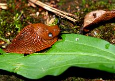 Giant, slimy slug eating a leaf royalty free stock photo