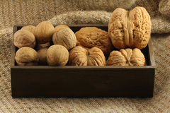 Giant and small walnut in shell. On the background of natural burlap Royalty Free Stock Photo