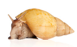 Giant snail Achatina Royalty Free Stock Image