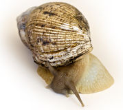 The giant snail Achatina - instance of 25 centimeters Stock Photography