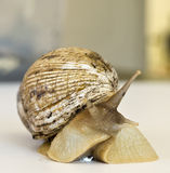 The giant snail Achatina - instance of 25 centimeters Royalty Free Stock Photos