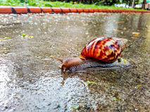 Giant snail Royalty Free Stock Image
