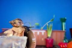 Giant snail on clay pot sleep background foliage home plants stock photography