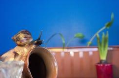Giant snail on clay pot sleep background foliage home plants stock photos